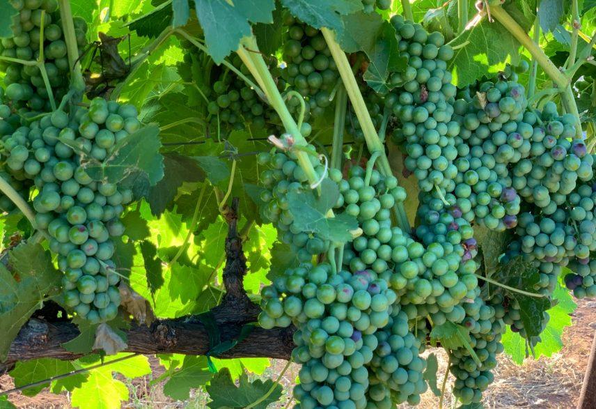 Wild Diamond Vineyards 3